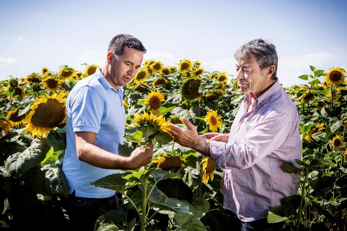 BASF, Ayçiçeği Tohumu Pazarına Giriyor