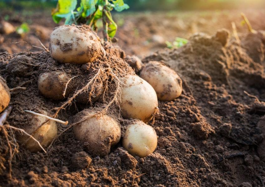 Patatesler sıcak bir dünyada nasıl yetişebilir ?